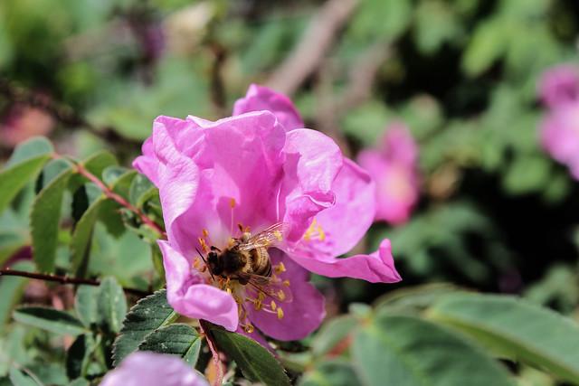 Honeybee and Wildrose