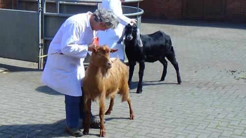 Bill Quay Goat Show June 15 (1)