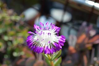 DSC_3157 Erepsia pillansii エレプシア ピランシイ 千歳菊
