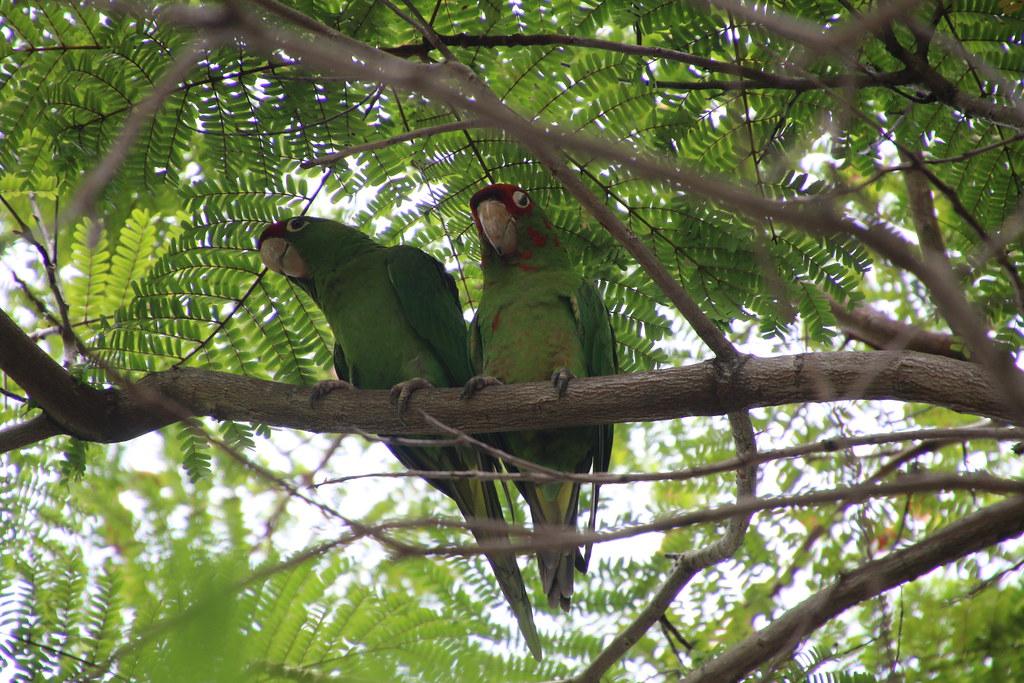Mitred Parakeets Or Wild Green Parrots Of Miami Florida