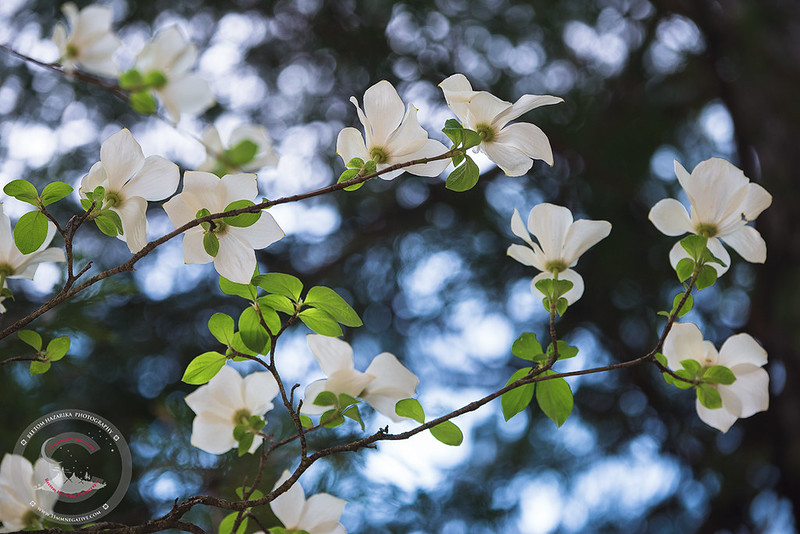 Dogwoods Reaching For The Sky