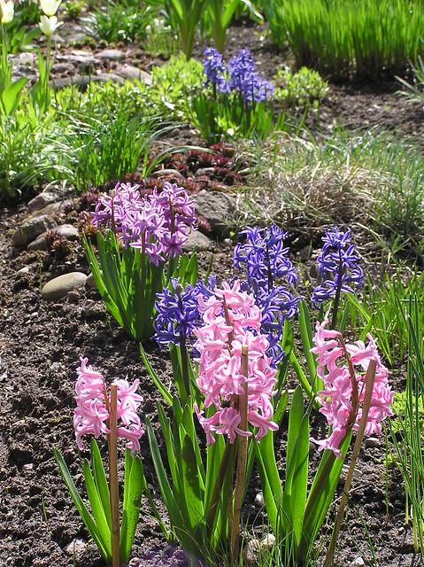 Hyacinthus orientalis hybrids