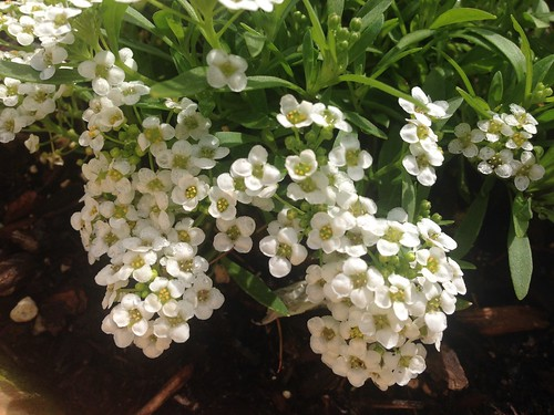 Sweet alyssum, so sweet