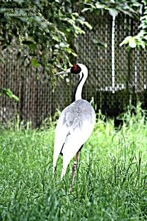 20150516 - Red Crowned Crane