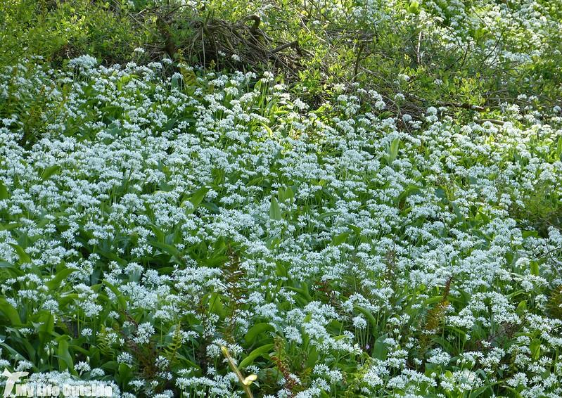 P1120697 - Wild Garlic, Weobley
