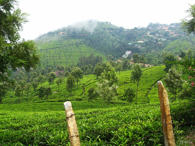 A estate near coonoor