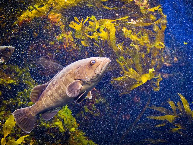 glare fish