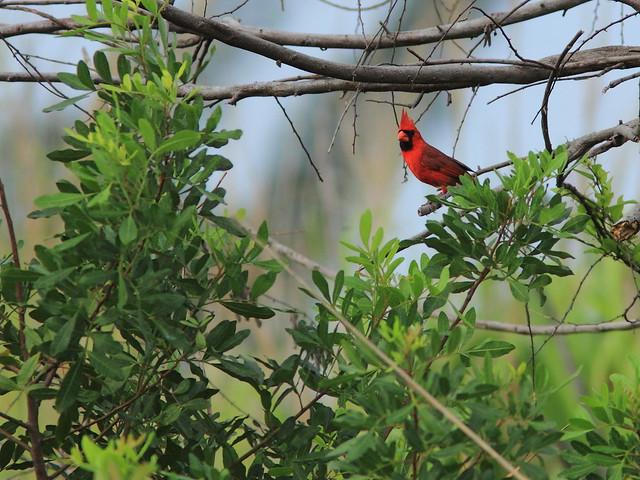 Northern Cardinal 20150605