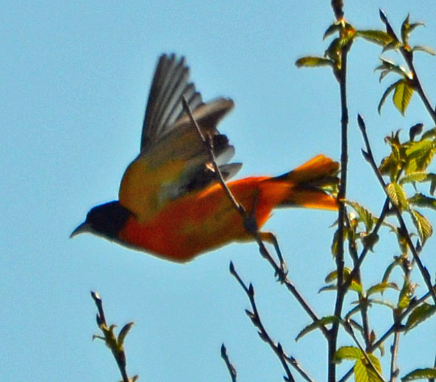 DSC_5315 Northern Oriole (Icterus galbula) Frenchboro Maine MAY29 2015 MJGood