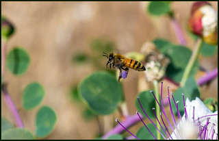 Honey Bee (Searching flower) | by Ziva_Amir