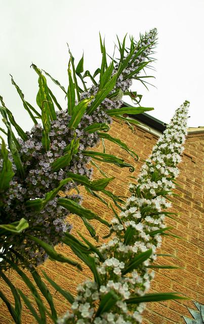 20150523-05_Echium Pininana Plants - Flower Spikes