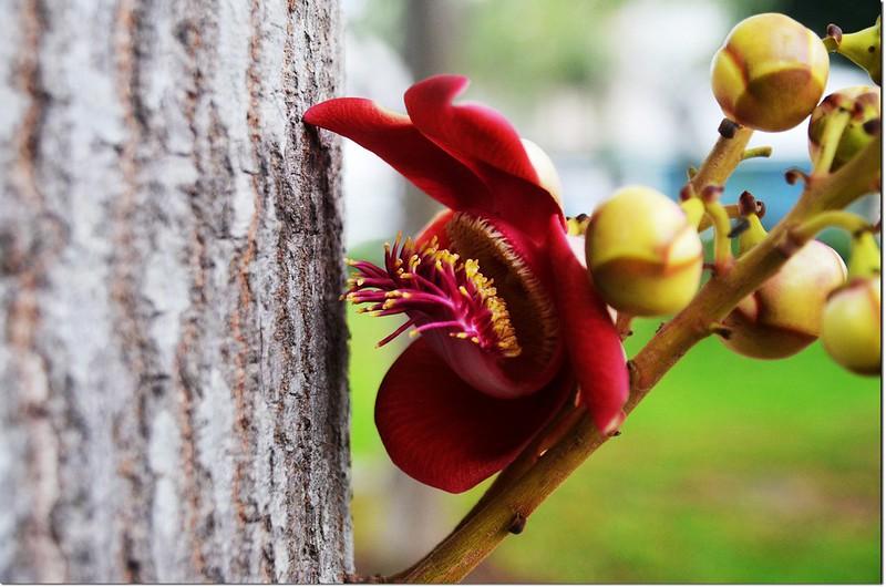 砲彈樹的花 9