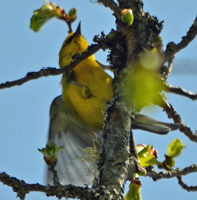 DSC_5395 Blue-winged Warbler (Vermivora cyanoptera ) FRENCHBORO Maine MAY29 2015 MJGood