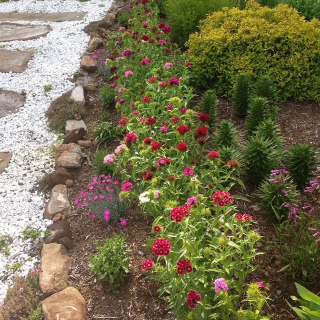 Front of the flower bed has dianthus blooming. Waiting on daisies and blanket flower next. #blossomsarecoming