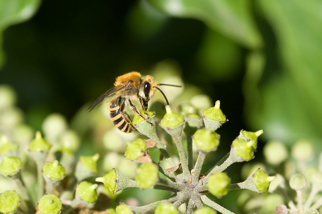 Colletes hederae