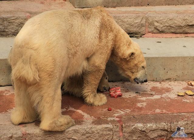 Eisbär Fiete im Zoo Rostock 23.05.2015 135