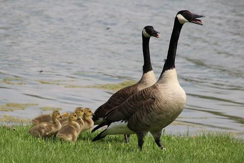 IMG_5419_Canada_Geese_&_Goslings