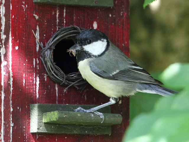 Great Tit Parent