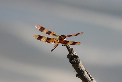 IMG_4130_Dragonfly