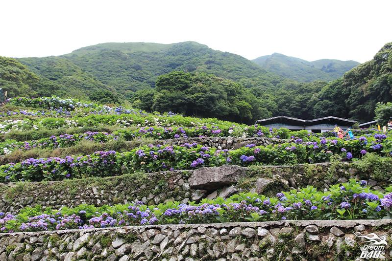陽明山竹子湖繡球花24