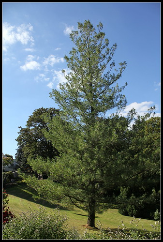Pinus strobus (2)