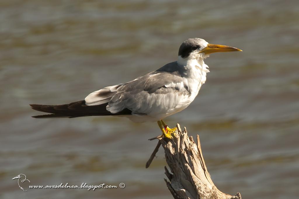 SMA_8413smaAtí (Large-billed Tern) Phaetusa simplexll