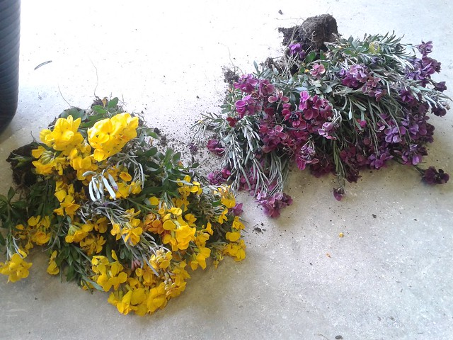 After stripping the beds in one of our parks I kept a few wallflowers for home.