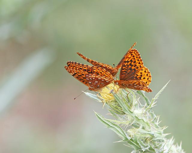 Butterfly 20d_6862