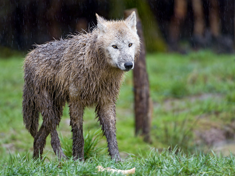 Dirty arctic wolf in the rain