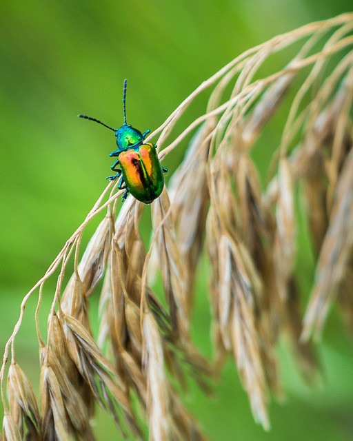 Green, Beetle, Bug, Insect, Macro