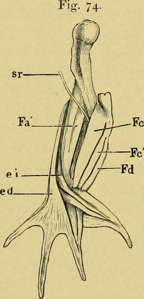 Image From Page 103 Of The Anatomy Of The Frog 1889 Flickr