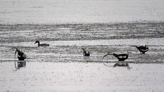 成龍溼地上的水雉。圖片來源:觀樹基金會提供