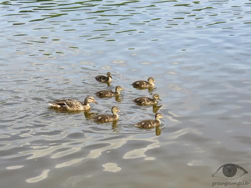 Familienausflug Familie Ente