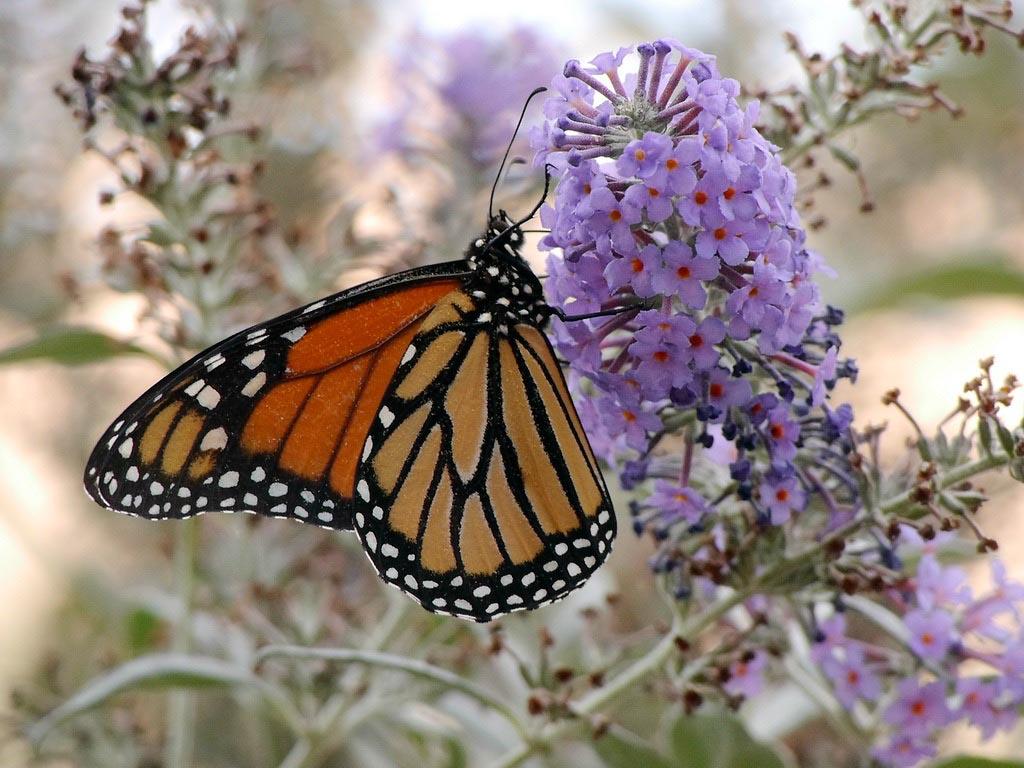 Monarch 102814