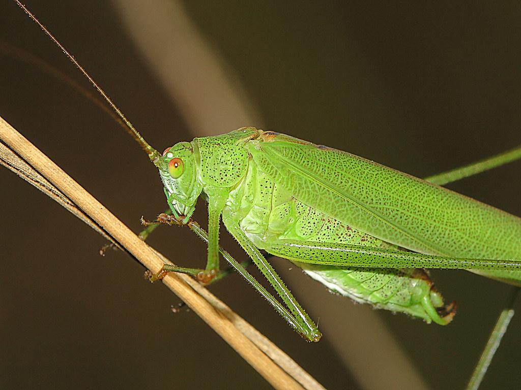 Laubheuschrecke - Phaneroptera nana