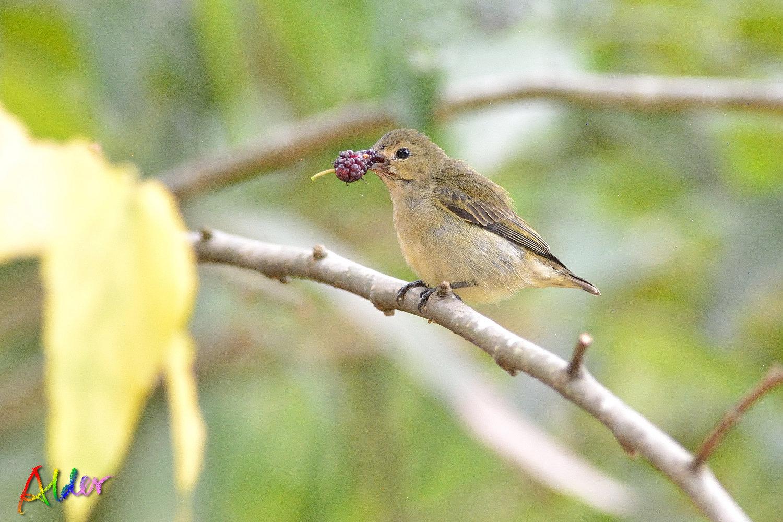 Plain_Flowerpecker_3420