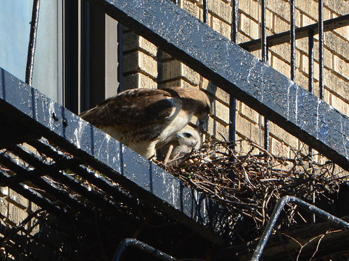 JHW Hawk Nest - 1597