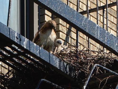 JHW Hawk Nest - 1584