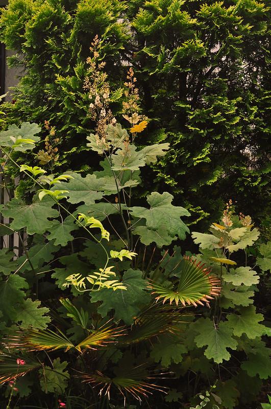 Macleaya cordata and Trachycarpus fortunei