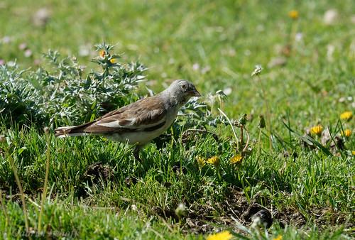 Niverolle alpine-Montifringilla nivalis - White-winged Snowfinch 1451.jpg