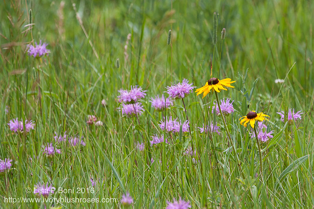 2016.07.21RMNPflowers02
