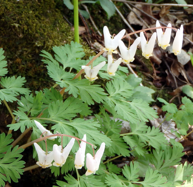 two strings of dutchman's breeches