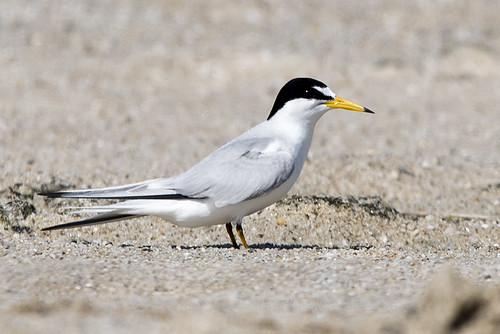 Mecox: Least Tern Profile