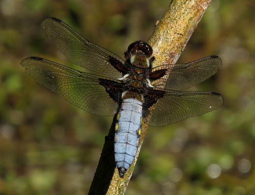 Broad-bodied Chaser Libellula depressa Tophill Low NR, East Yorkshire June 2015