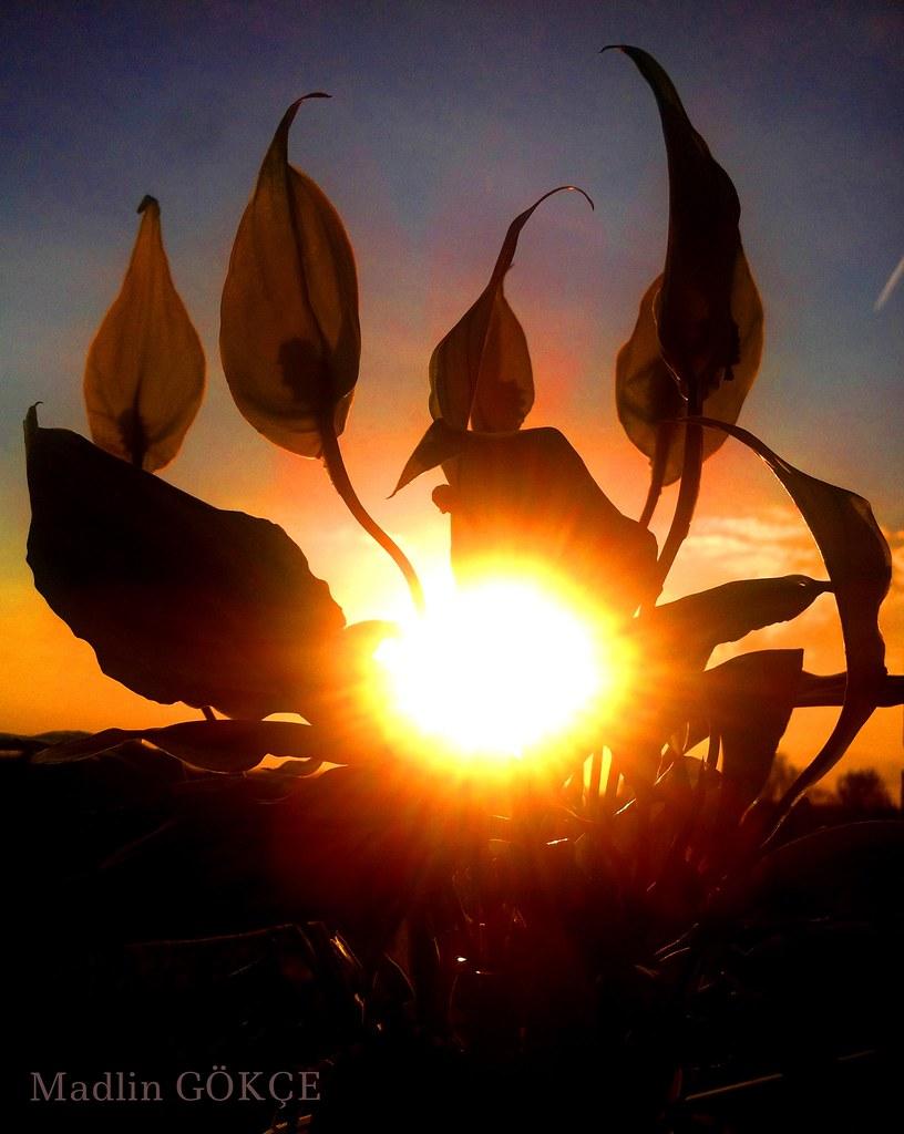 Sunset through my plant