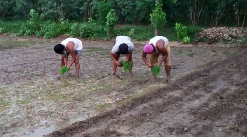 Few takers for 'Direct Sowing' of paddy and Basmati