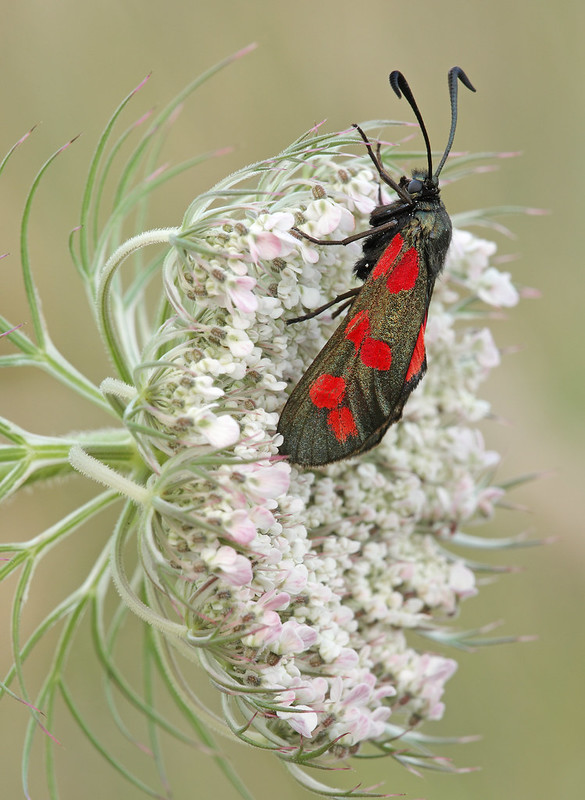 Six spot Burnet moth on Wild Carrot