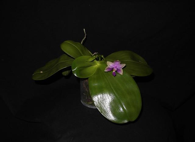 Phalaenopsis bellina x violacea (Samera) 18429398370_e87715c3b7_z
