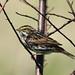 Savannah Sparrow 20150518