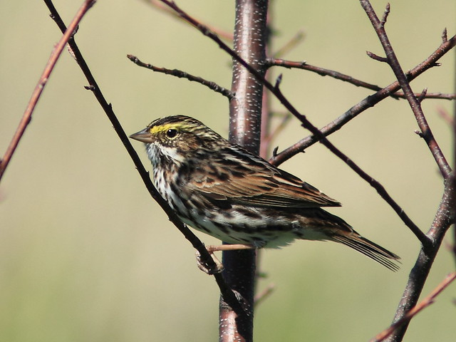 Savannah Sparrow 20150518